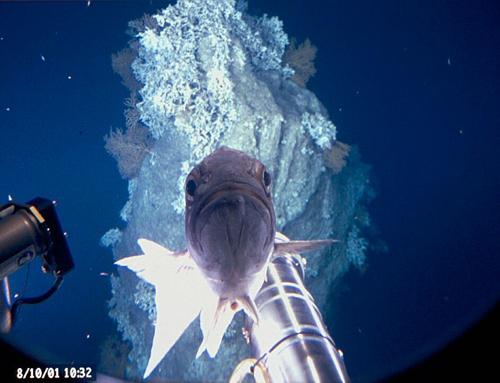 Imagen de la fumarola hidrotermal Lost City (mencionada en el artículo) y que esta ubicada en la dorsal medio oceánica debajo del atlántico a una profundidad de 900 metros. Una apariencia similar a esta (con la excepción naturalmente del pez) podrían tener los sistemas hidrotermales de Enceladus. Crédito: Bruce Strickrott.
